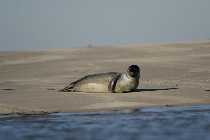 voir les phoques au Crotoy